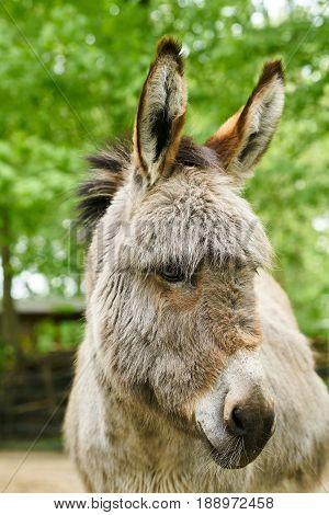 Donkey on a farm in Germany in Summer