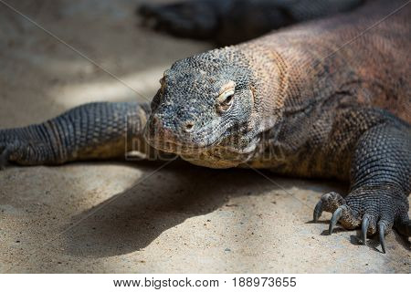 The Komodo dragon Varanus komodoensis. Species of lizard found in the Indonesian islands.