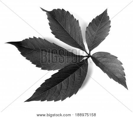 Black And White Grapes Leaf