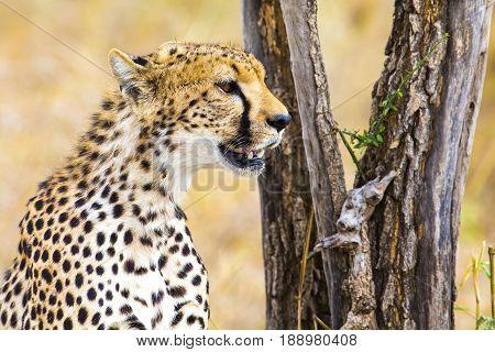African cheetah looking for enemies or prey or rests at the Serengeti savannah, Tanzania.