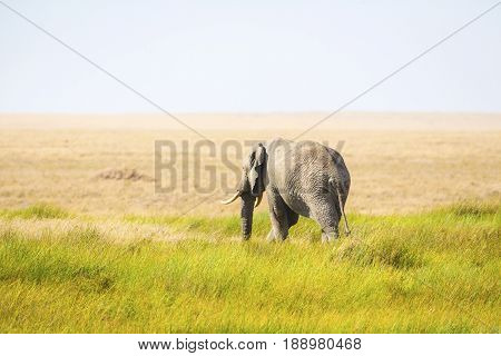 One lonely african elephant at the great plains of Serengeti, Tanzania.