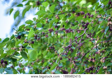 Fresh Mulberry Berries On Tree, Mulberry Tree
