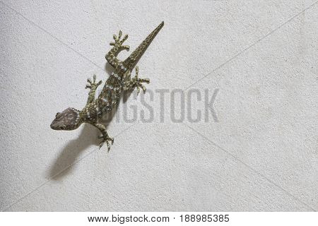 The Gecko on the white cement wall