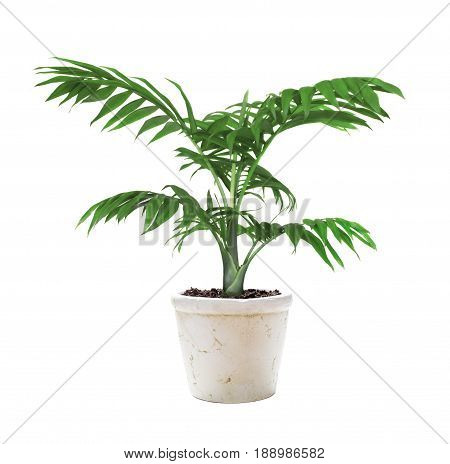 House plant mountain palm in a ceramic flower pot isolated on a white background