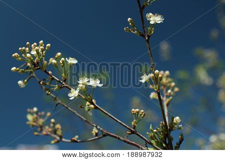 White flowers blossom cherry tree against background of blue sky