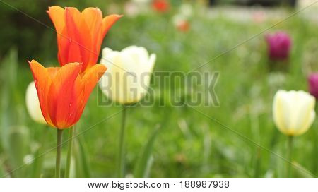 Netherlands Flowers Orange Tulips on green background close to