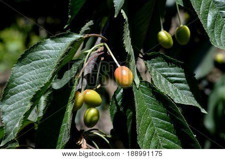 Sweet cherry. Cherry. Unripe fruit. Orchard.  3