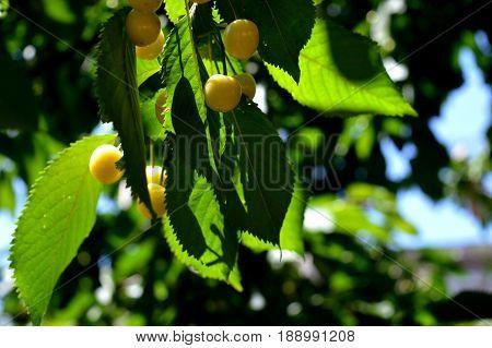 Sweet cherry. Cherry. Unripe fruit. Orchard.  v