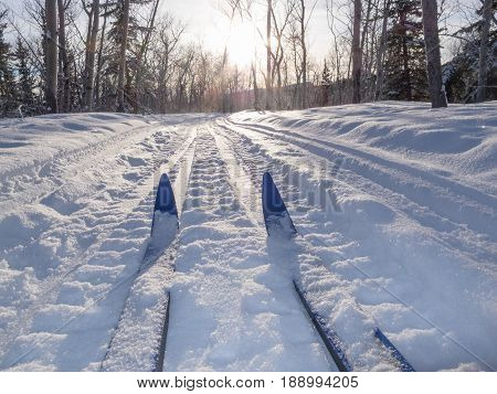 Winter Sport X-country Skis In Sunny Forest Tracks