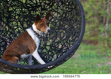 Basenji dog on grass outdoor. Basenji Kongo Terrier Dog. The Basenji is a breed of hunting dog