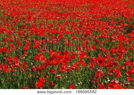 A Large Field Of Red Poppies. Landscape Of Nature. Natural Background