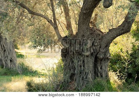 Shade of old olive tree Olea europaea groove in Greek countryside of rural Greece