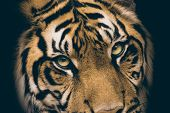Face tiger as wallpaper with green eyes. Species animal from list IUCN.Tiger lie in wait. Feline predator before atack. Sweet wild cat. poster