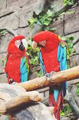 Couple of colorful Greenwinged Macaw aviary sitting on the log. poster