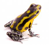 poisn arrow frog. Tropical poisonous rain forest animal, Oophaga pumilio isolated on a white background. poster