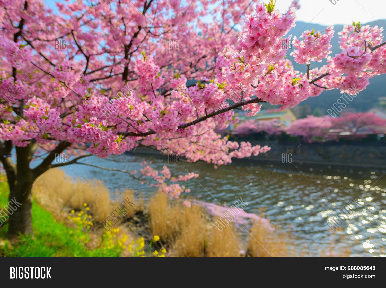 Beautiful Japan Sakura Image Photo Free Trial Bigstock