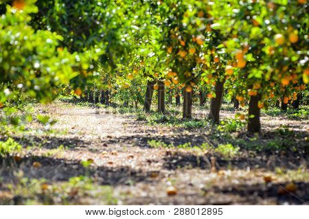 Orange Tree With Fruits, Beautigul Drove Of Orange. Ripe Organic Oranges Hanging From An Orange Tree