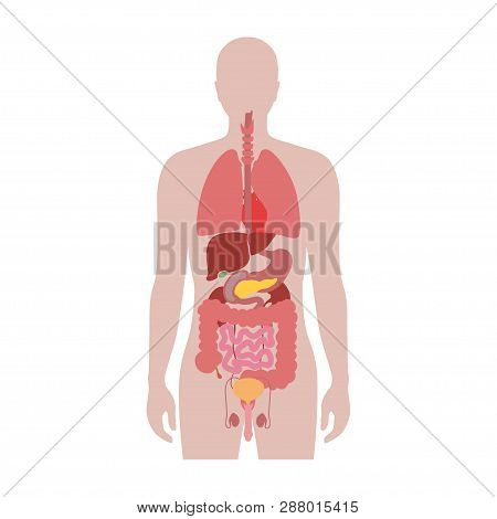 Vector Isolated Illustration Of Human Internal Organs In Male Body. Stomach, Liver, Intestine, Bladd