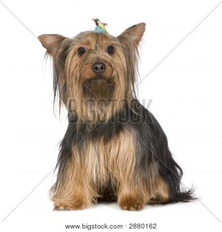 Yorkshire Terrier (9Years)