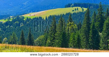 Forest. Panoramic View Of Conifer Forest In Summer Highland