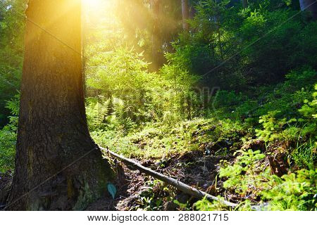 Summer Forest. Landscape With Evergreen Conifer Forest