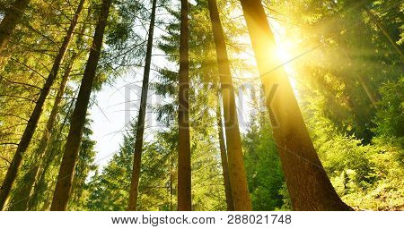 Forest. Landscape Of Evergreen Conifer Forest With Sunbeams