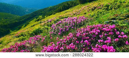 Rhododendron. Panoramic View Of Blossoming Pink Rhododendron