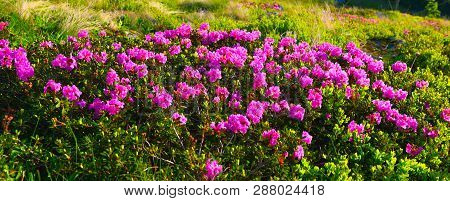 Rhododendron. Background With Flowering Of  Pink Rhododendron