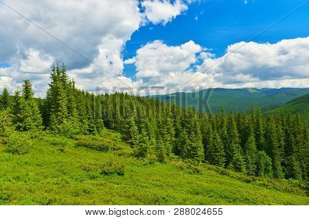 Forest. Evergreen Conifer Forest In Summer Mountains