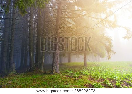 Border Of Evergreen Conifer Forest In Misty Weather