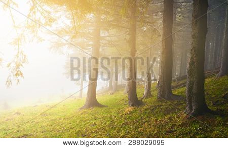 Conifer Forest In Misty Weather With Diffuse Sunlight