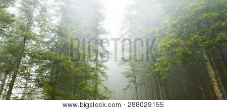 Panoramic View Of Evergreen Conifer Forest With Mist