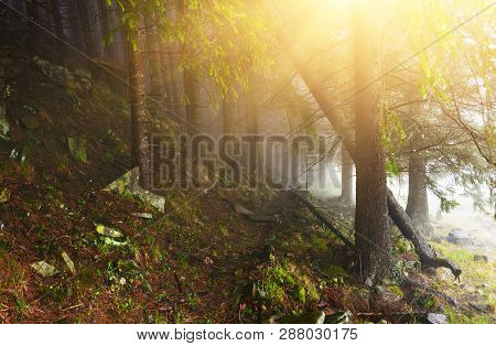 Conifer Forest With Sunrays In Misty Day