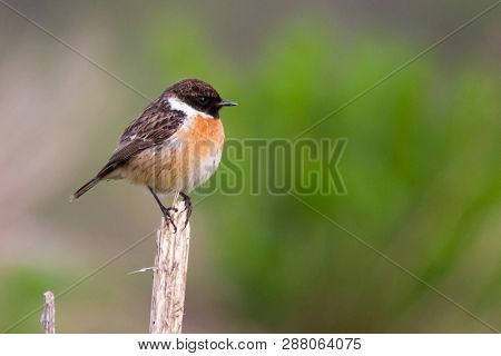 European Stonechat, Laid On A Dry Bush Stone Bird