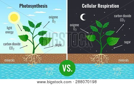 Photosynthesis Accumulating Sugar And Cellular Respiration Fueling All Plants Functions Day Night 2