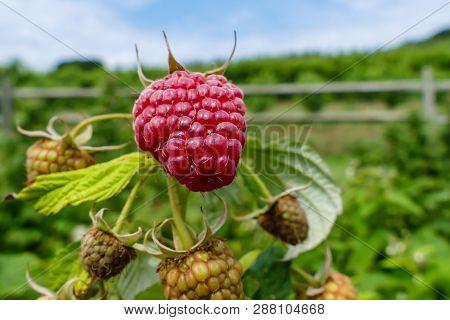 Raspberries close up outside in field