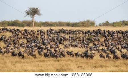 Large herds of white bearded wildebeest gather in the lush grazing grounds of the Masai Mara, Kenya, during the great annual migration.