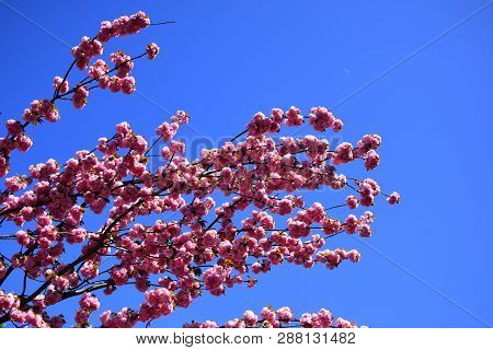Cherry Blossom. Sacura Cherry-tree. For Easter And Spring Greeting Cards With Copy Space. Spring Bor