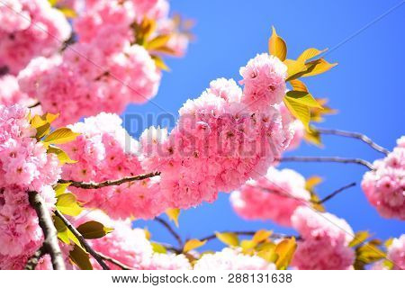 Branches Of Blossoming Apricot Macro With Soft Focus On Sky Background. Cherry Blossom. Spring Flowe