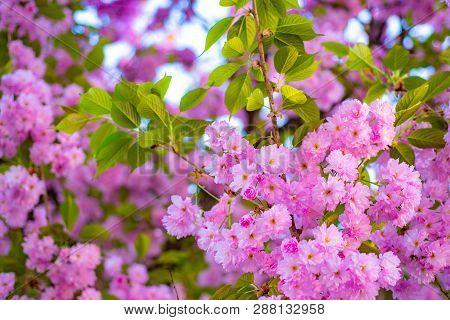 Cherry Blossom. Sacura Cherry-tree. Japanese Cherry. Prunus Serrulata. Blossom Tree Over Nature Back