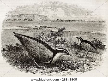 Egyptian Plover old illustration (Pluvianus aegyptius). Created by Freeman, published on Magasin Pittoresque, Paris, 1845