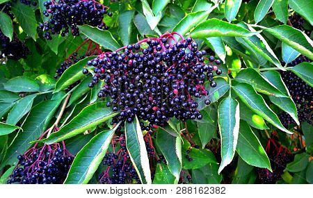 Sambucus Berries. Common Names Include Elder, Elderberry, Black European Elder, European Elderberry,
