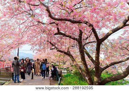 Beautiful Kawazu Sakura Festival , Cherry Blossom Full Bloom