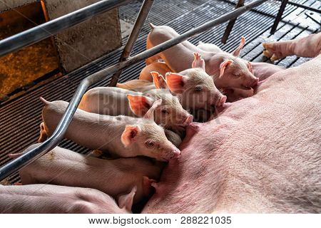 Baby Pigs Sucking Mother Pig In Hog Farms, Animal And Pig Industry