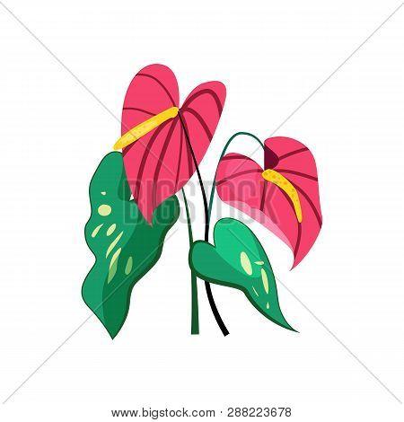 Anthurium Flower Illustration. Nature, Flora, Summer. Nature Plants Concept. Vector Illustration Can