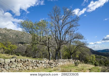 Bare Narrow-leafed Ash Tree, Fraxinus Angustifolia, Next To A Stone Wall In Guadarrama Mountains, El