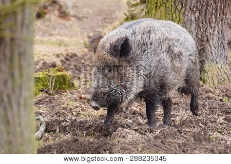 The Wild Boar (sus Scrofa), Also Known As The Wild Swine, Eurasian Wild Pig, Or Simply Wild Pig