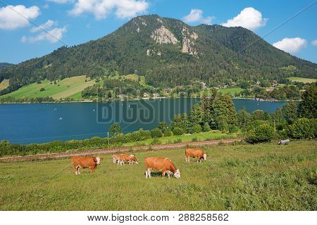 Lake Schliersee With Mountains And Grazing Cows On The Pasture. Idyllic Landscape Upper Bavaria.