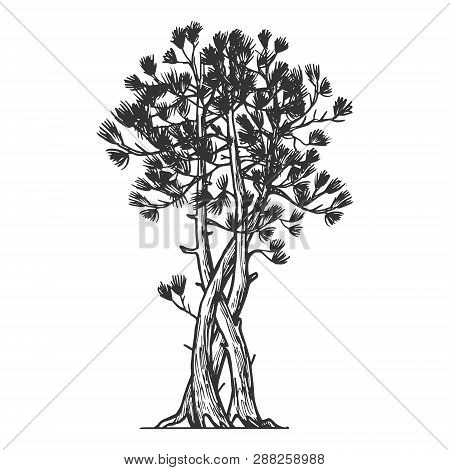 Binded Pine Tree Sketch Engraving Vector Illustration. Scratch Board Style Imitation. Hand Drawn Ima