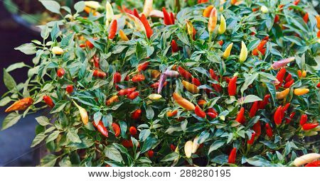Chili Pepper (chile, Chile Pepper, Chilli Pepper Or Chilli) Spicy Fruit Of Capsicum Plants Used For